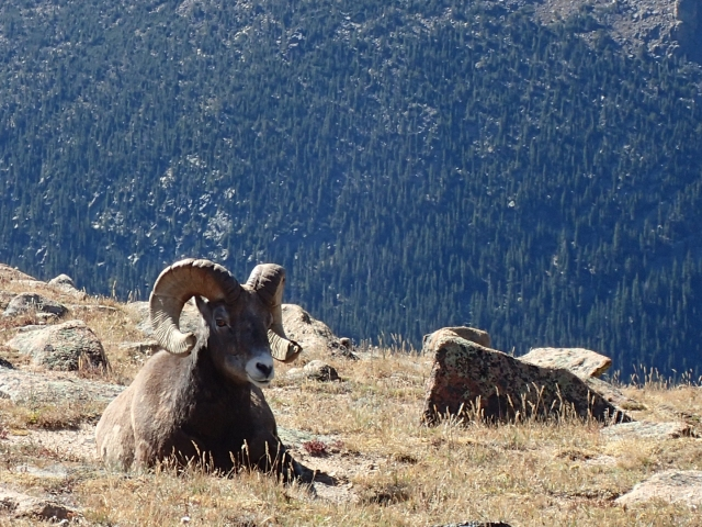 Bighorn sheep along Trail Ridge Road, RMNP